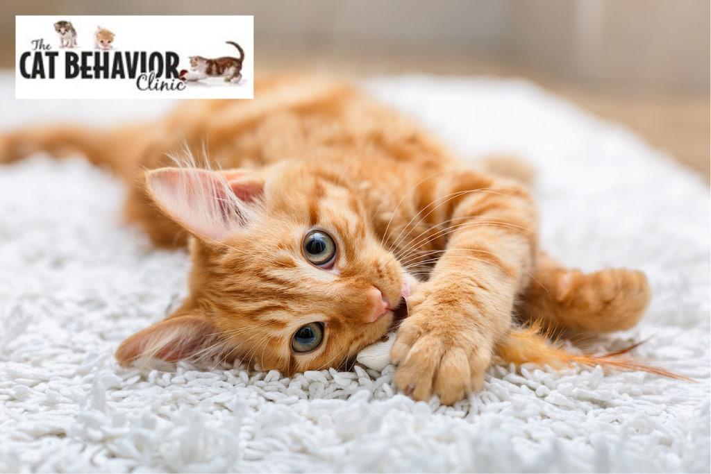 Orange Cat at The Cat Behavior Clinic