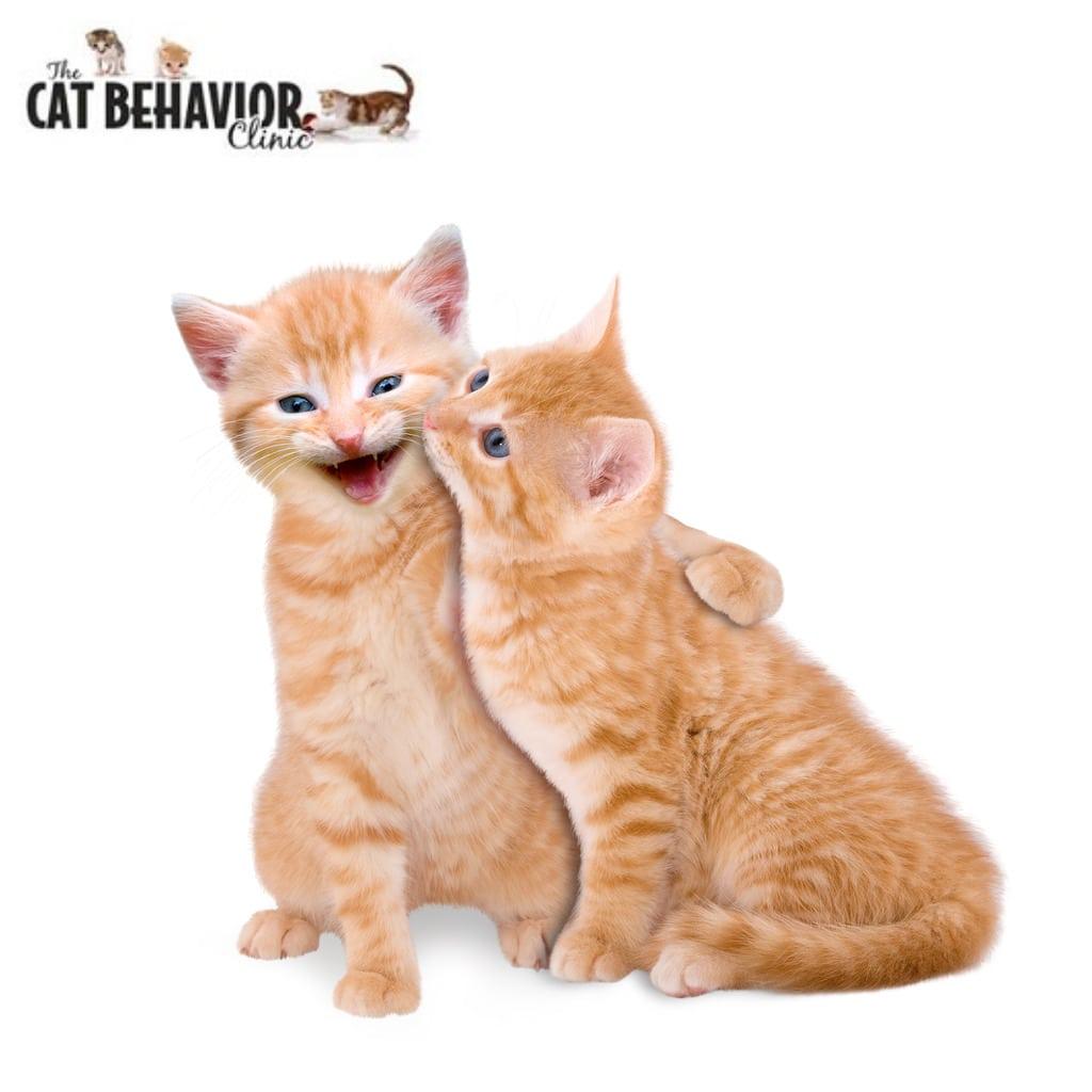 Orange Cats at The Cat Behavior Clinic